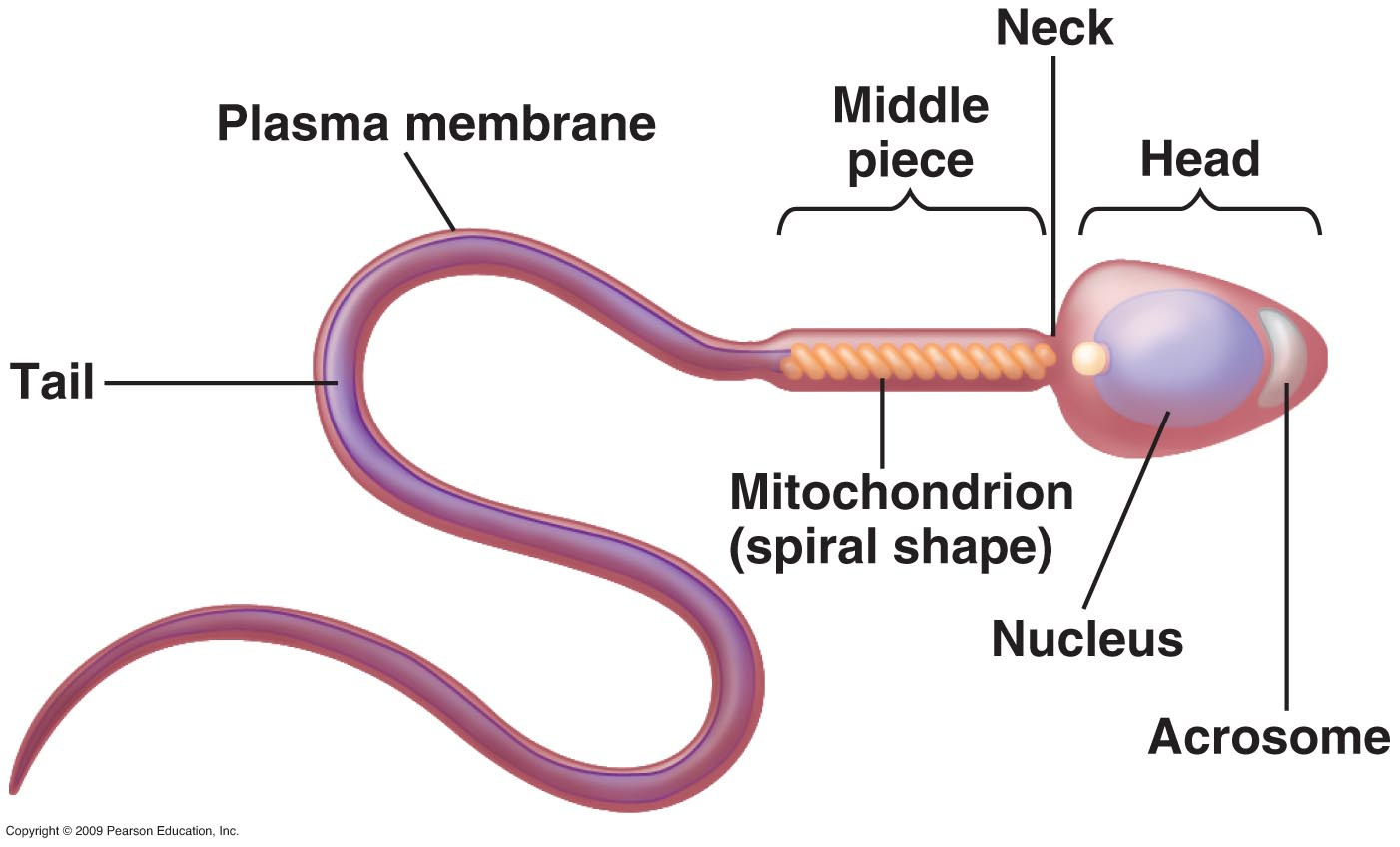 What is the structure of a mature human sperm cell? - Lifeeasy ...